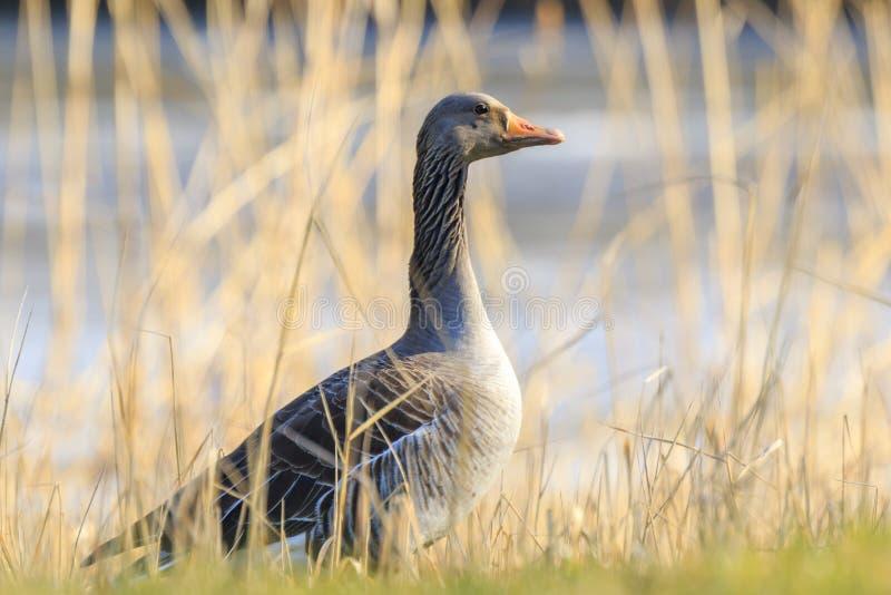 Oie cendrée, anser d'Anser, se reposant dans un printemps de durng de pré photo libre de droits