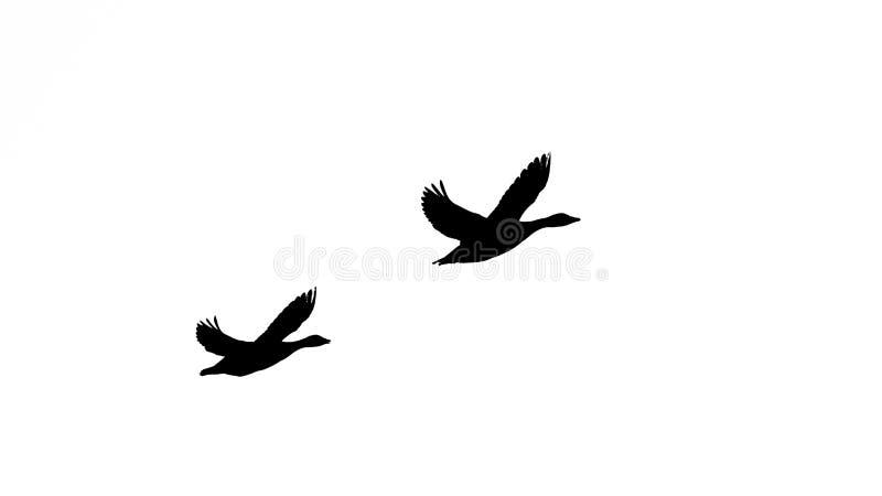 Oie cendrée le vol de couples dans le silhuette noir et blanc photo libre de droits