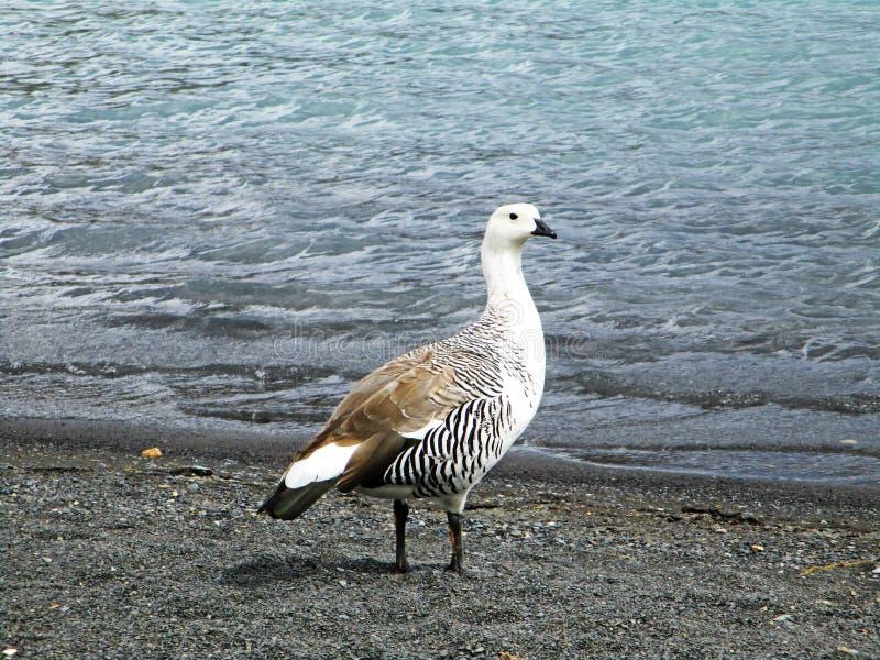 Oie d'oie ou de Magellan de montagne ou Cauquen, Torres del Paine Chili photos libres de droits