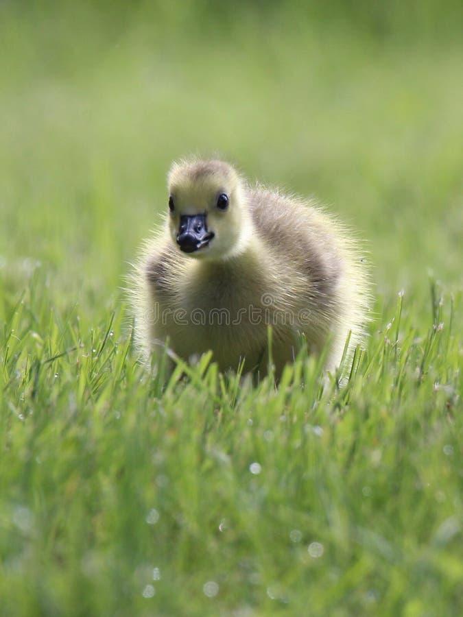 Oie de bébé