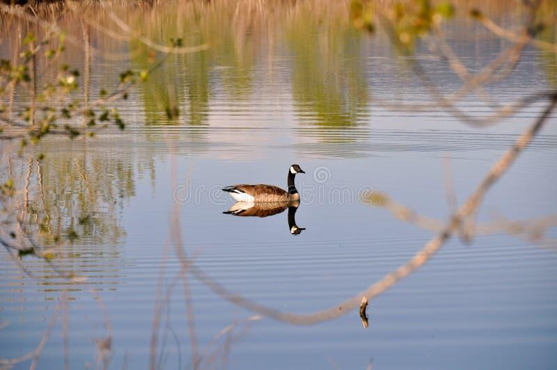 Oie de Canada photos libres de droits
