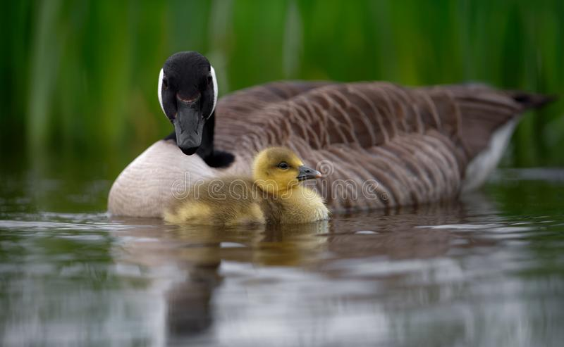 Oie de Canada dans l'eau avec Gosling photos stock