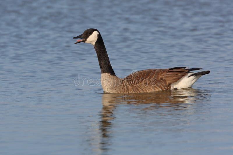 Oie de Canada invitant le lac Huron photos stock