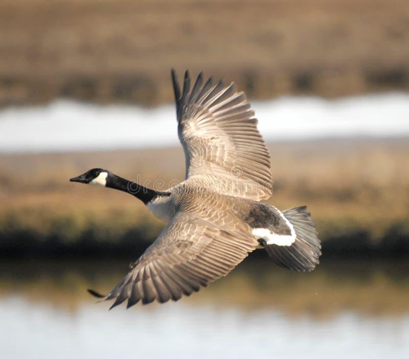 Oie de Canada volant au-dessus des marécages photographie stock
