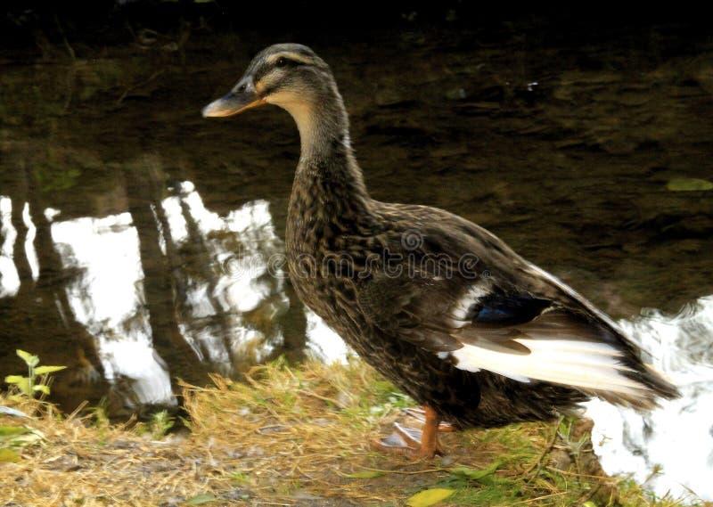 Oie de canard photo stock
