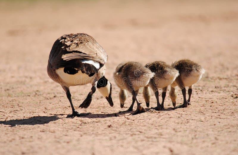 Oie de mère photographie stock libre de droits