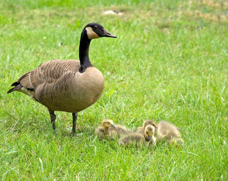 Oie de mère et oisons photo stock