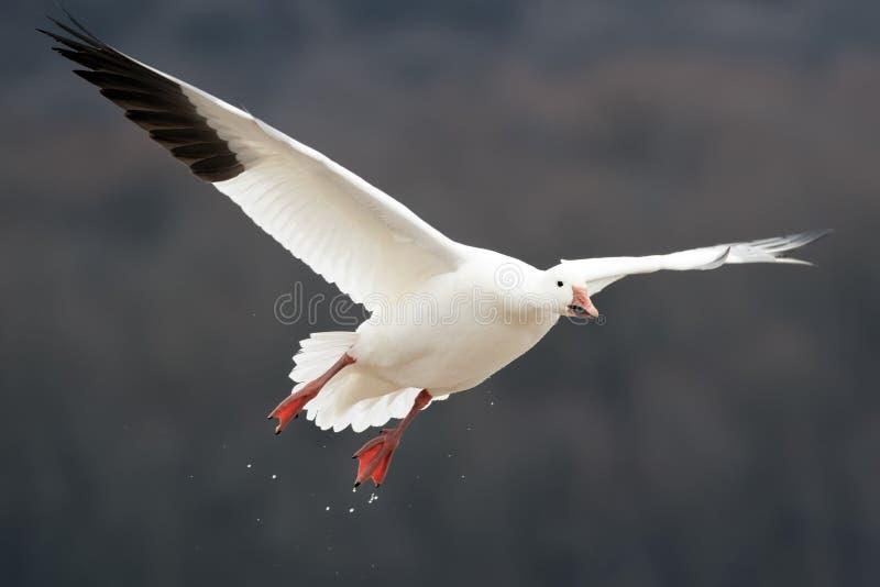 Oie de neige en vol photo libre de droits