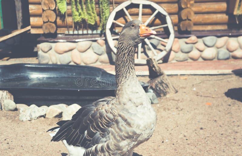 Oie domestique au milieu d'une cour de village photos stock