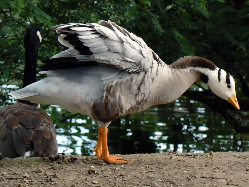 Oie en parc image libre de droits