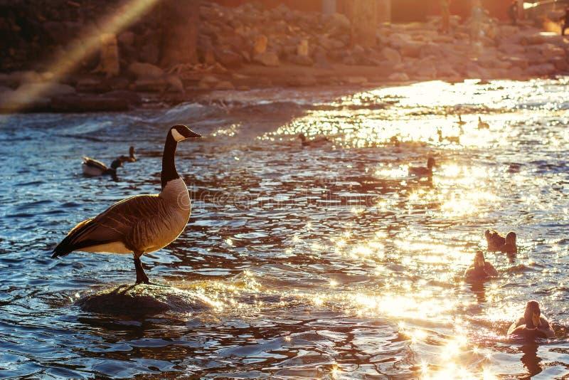 Oie et canards de Canada photo libre de droits