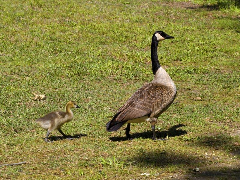 Oie et Gosling du Canada de mère images libres de droits