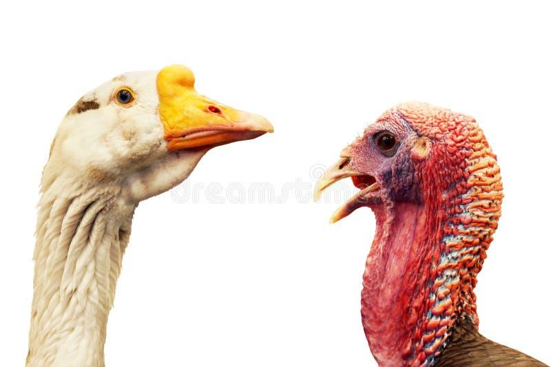 Oie et portraits sauvages de dinde sur le blanc photographie stock