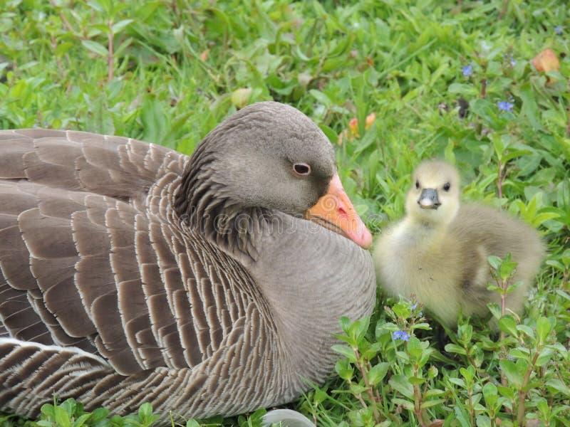 Oie et poussin de Graylag photo libre de droits