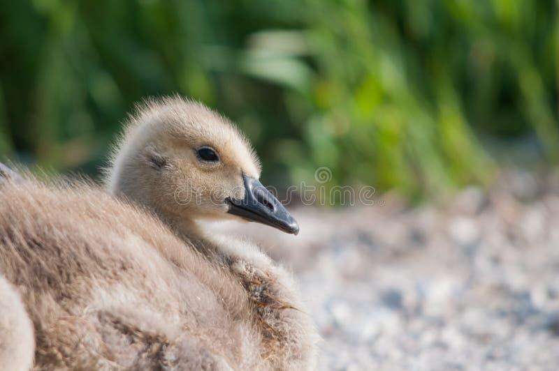 Oie Gosling du Canada image libre de droits