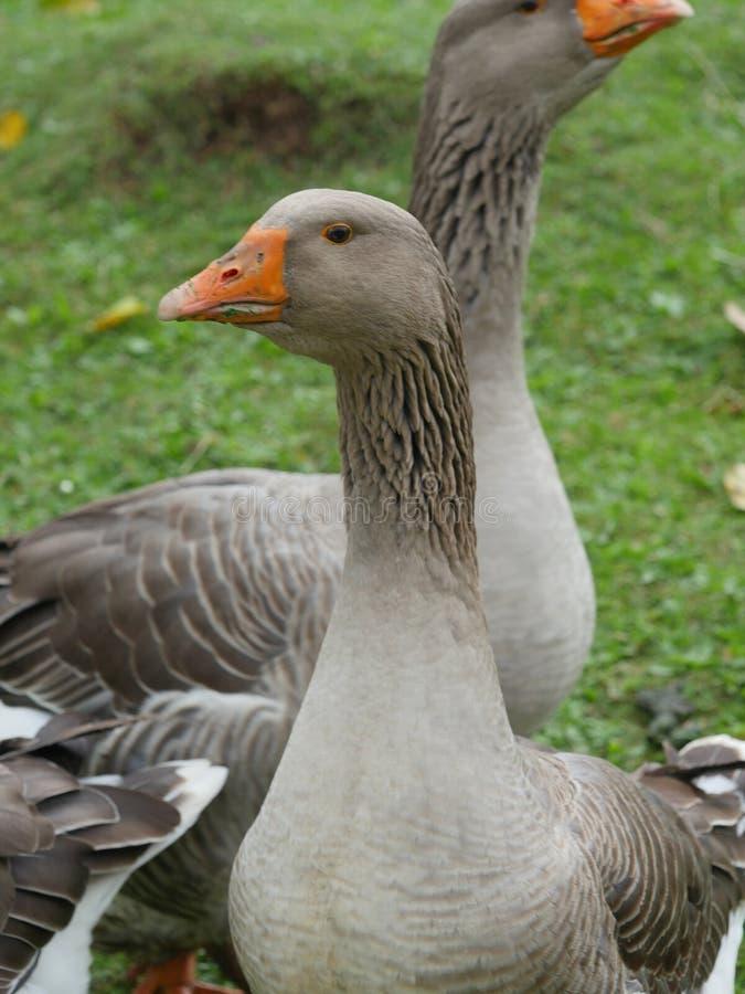 Oie grise dans le pré vert photographie stock libre de droits
