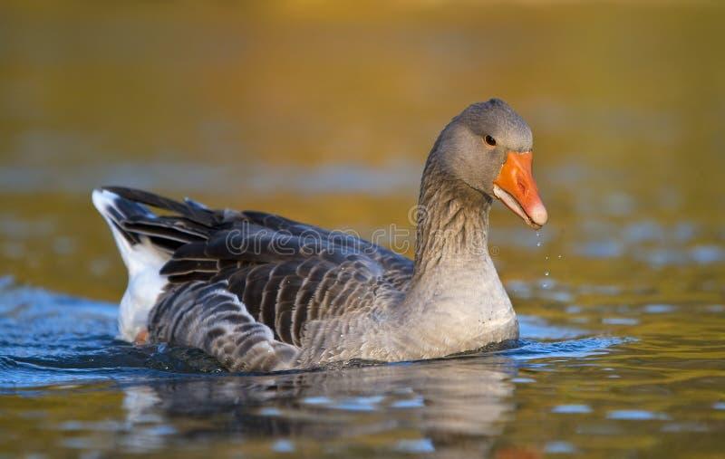 Oie grise flottant sur l'eau image libre de droits
