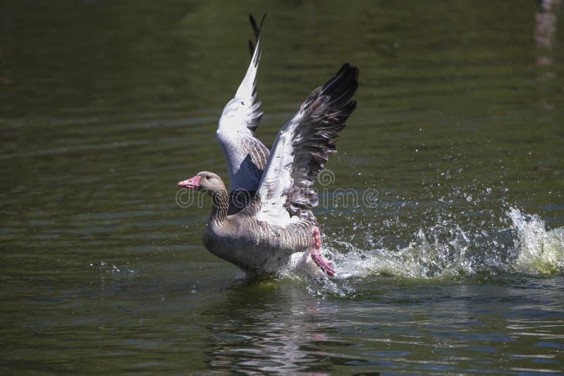 Oie grise flottant sur l'eau photo stock