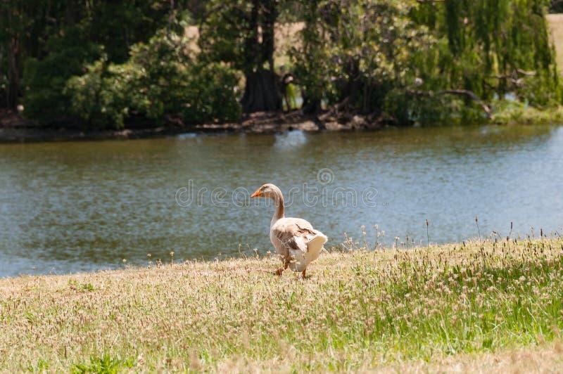 Oie grise marchant le pré vers l'étang photo libre de droits
