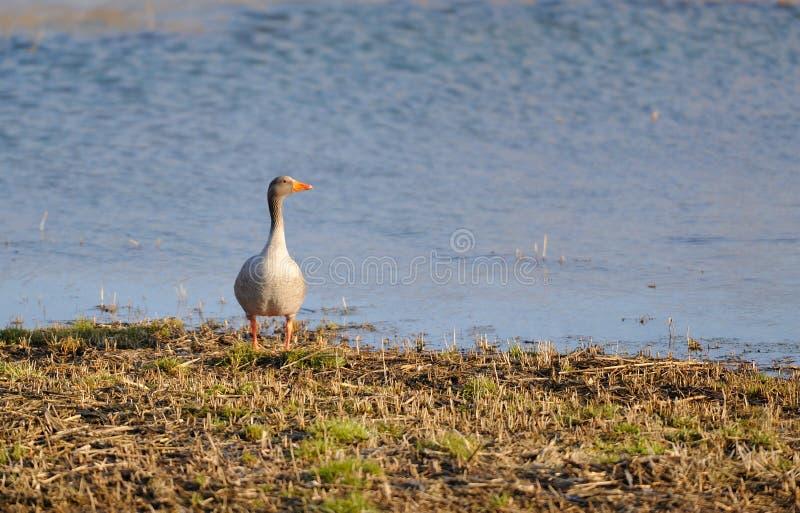 Oie grise sur le rivage photo libre de droits