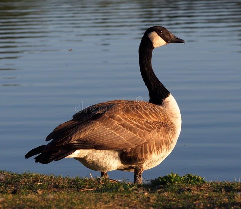 Oie ou Branta canadienne Canadensis se tenant près d'un lac images stock