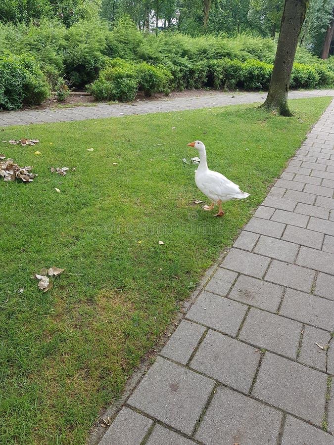 Oie ou canard blanche dans l'herbe images libres de droits