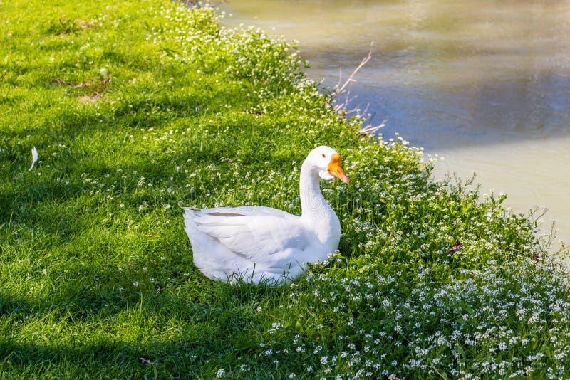 Oie près d'une rivière tranquille photographie stock libre de droits