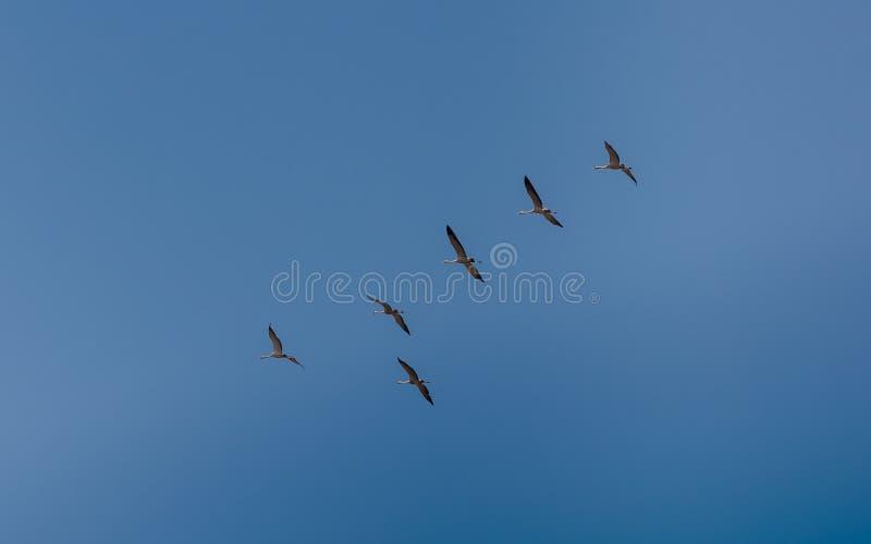 Oie sauvage volante images stock