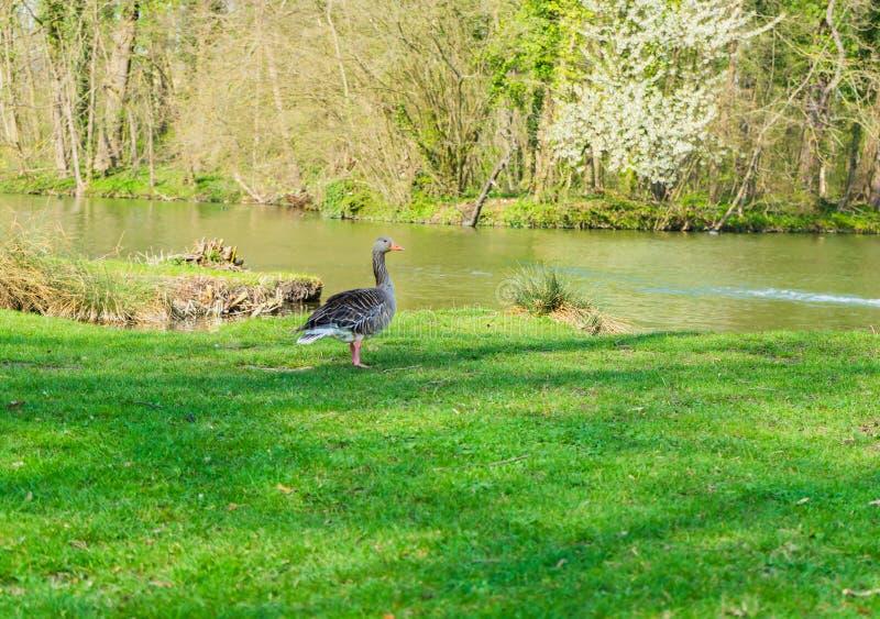 Oie sur le rivage d'un lac images stock
