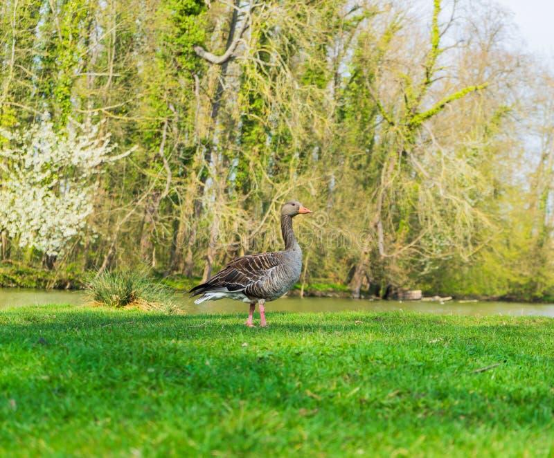 Oie sur le rivage d'un lac photographie stock libre de droits