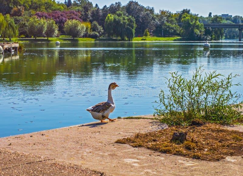 Oie sur le rivage de lac images libres de droits