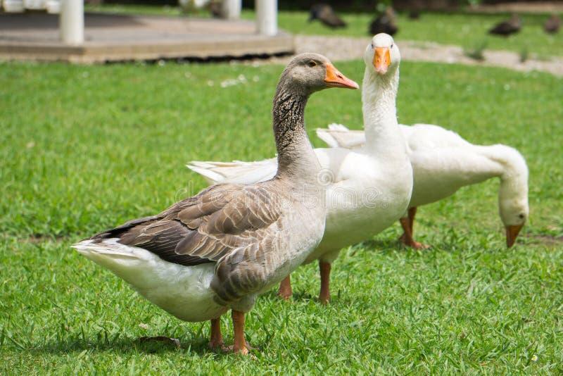 Oie-taupe américaine aux oies blanches images libres de droits