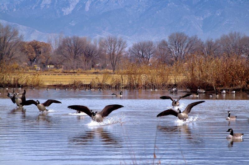 Oies atterrissant sur un lac photo libre de droits