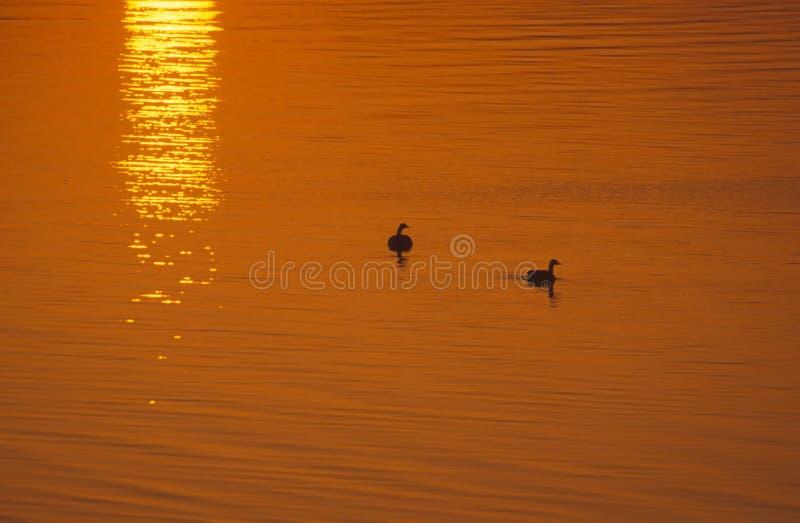 Oies Au Lever De Soleil Photo libre de droits