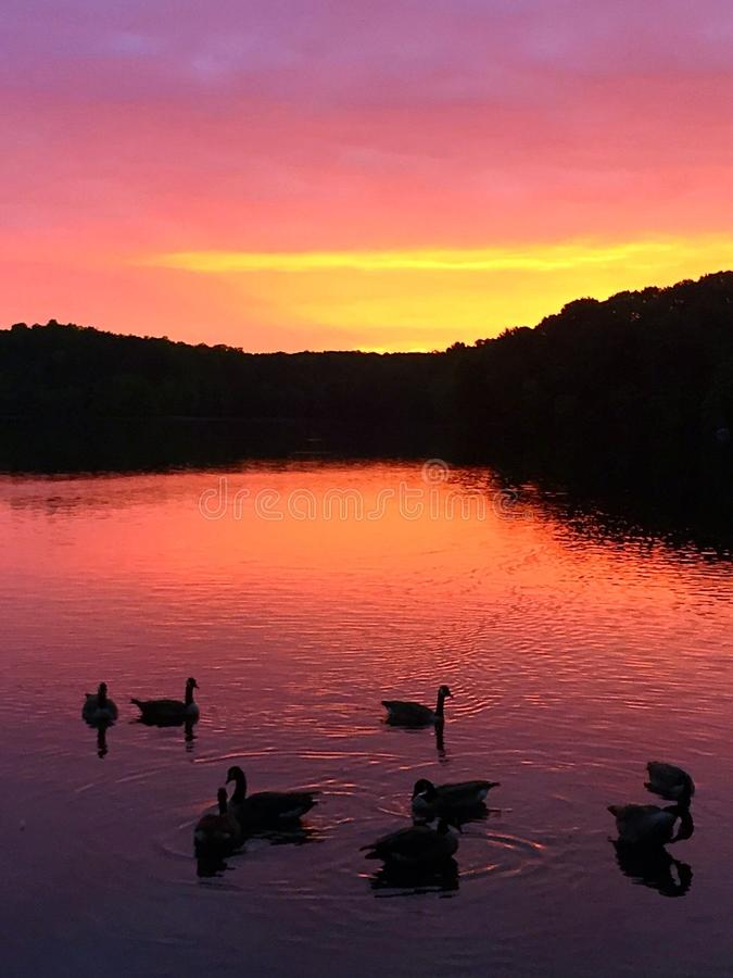 Oies au lever de soleil photos stock