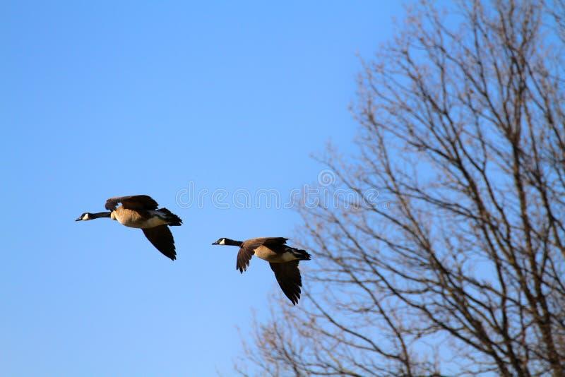 Oies canadiennes photo libre de droits