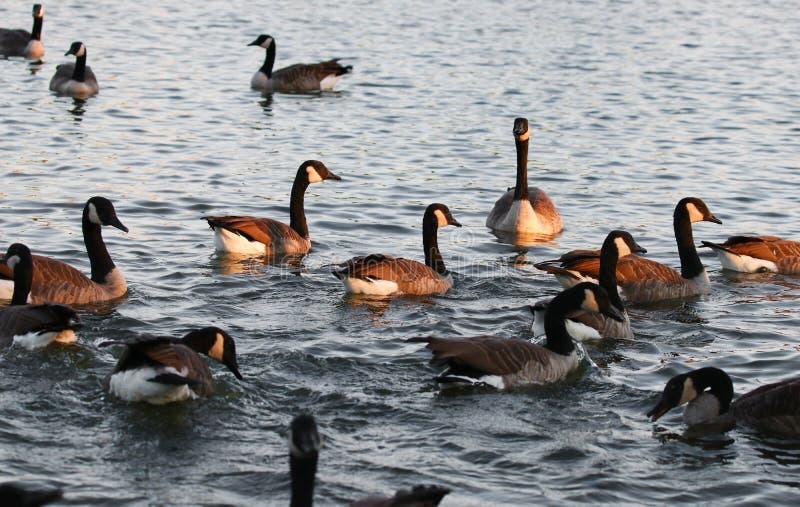 Oies canadiennes alimentant au parc photographie stock