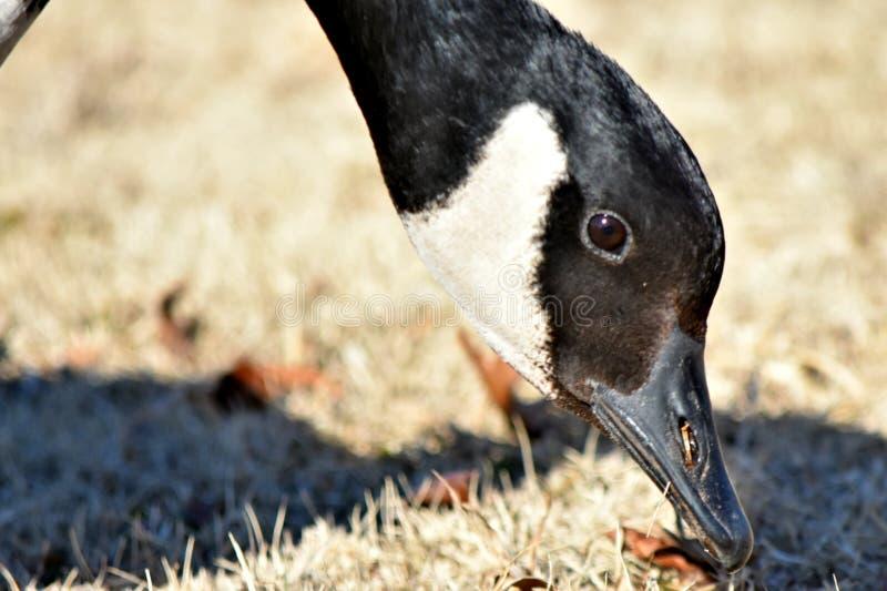 Oies canadiennes alimentant en parc à côté d'un étang en hiver images stock