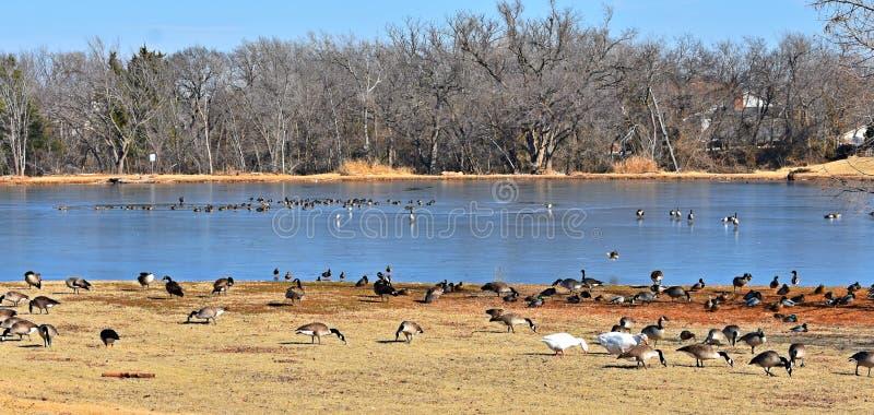 Oies canadiennes alimentant en parc à côté d'un étang en hiver image libre de droits