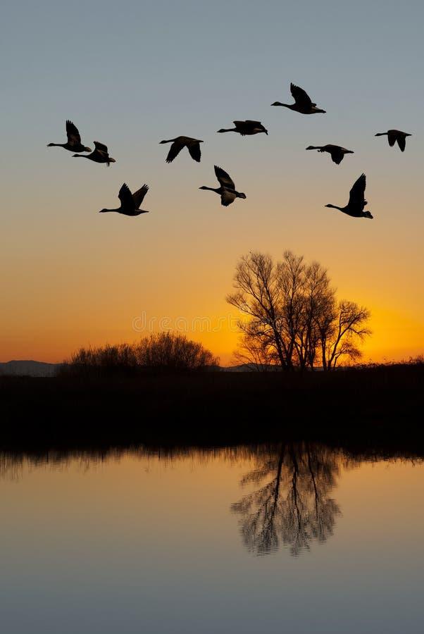 Oies canadiennes au coucher du soleil image libre de droits