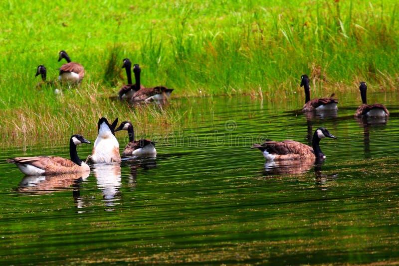 Oies canadiennes dans un étang photos stock