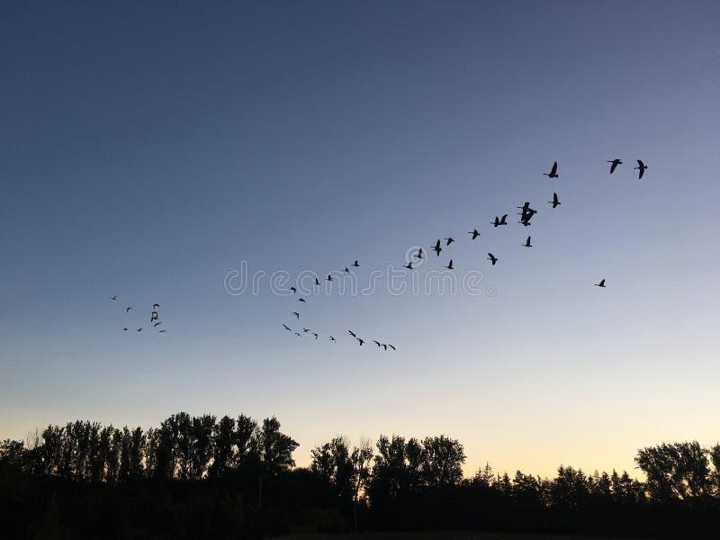 Oies canadiennes dirigeant des sud au lever de soleil images libres de droits