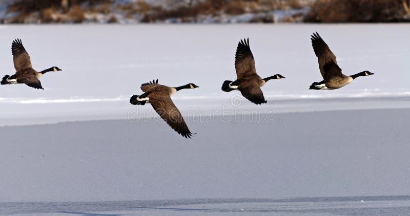 Oies canadiennes effectuant le vol au-dessus d'un lac figé photo stock