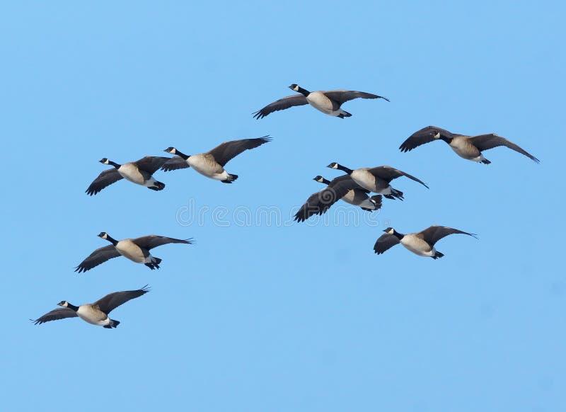 Oies canadiennes en vol image libre de droits