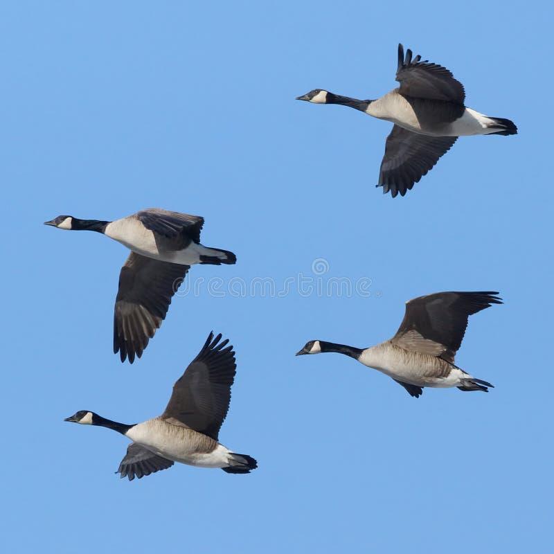 Oies canadiennes en vol photos libres de droits
