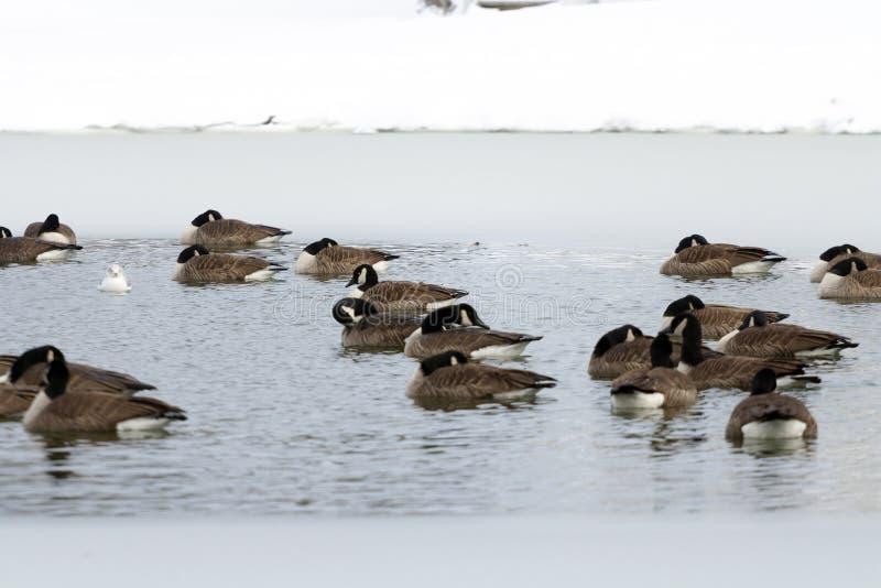 Oies canadiennes flottant dans le lac congelé photos stock