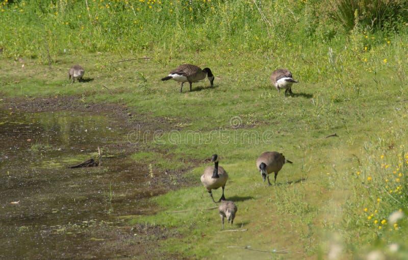 Oies canadiennes sauvages dans l'habitat naturel images libres de droits