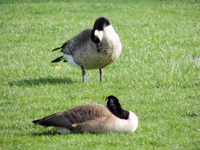 Oies canadiennes sauvages lissant sur le pré grignotant l'herbe, herbe juteuse verte, en parc d'Indianapolis, les Etats-Unis photographie stock