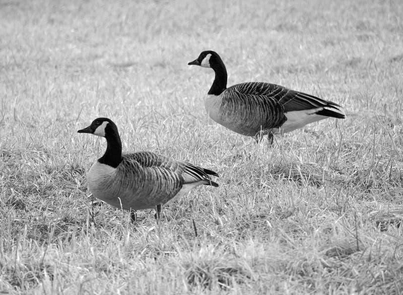 Oies canadiennes se tenant dans le domaine en noir et blanc images libres de droits
