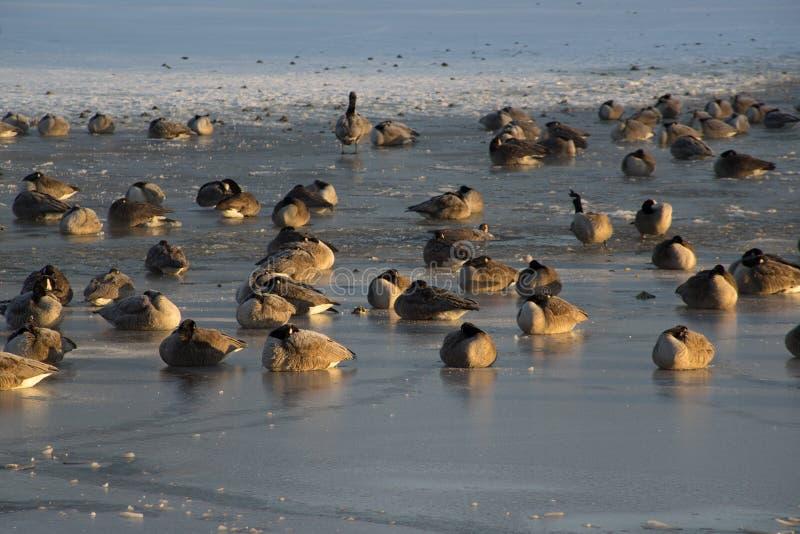 Oies canadiennes sur l'étang congelé photos stock